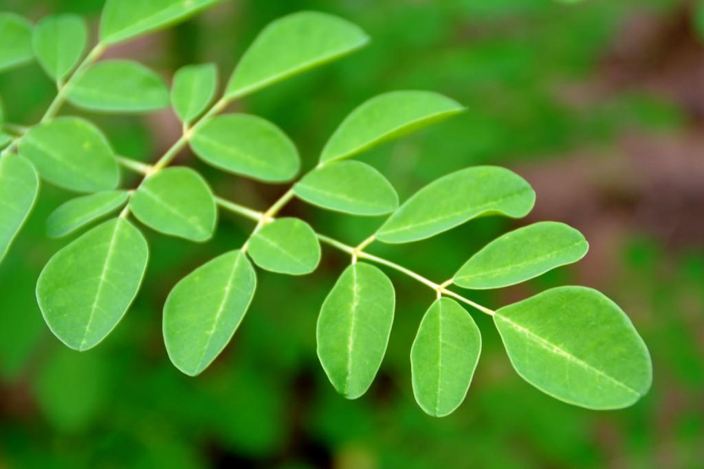 moringa-leaf-closeup1